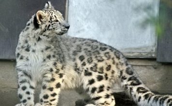 Facts about Snow Leopard - Snow leopard in zoo