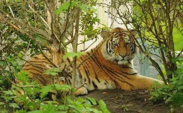 Facts about tigers - Tiger Zoo Predator Animal