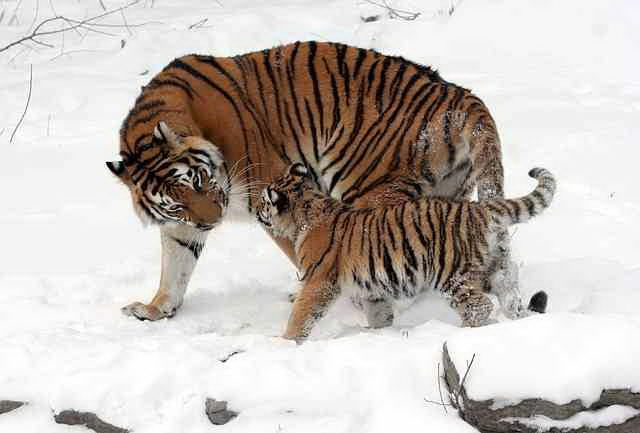 Siberian Tiger Facts For Kids - Siberian Tiger Habitat & Diet