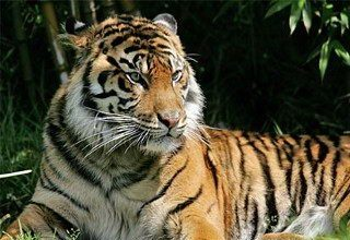 Sumatran tiger pictures