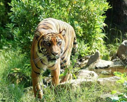 Tiger Facts For Kids     Interesting Facts About Tigers For KidsTiger Image For Kids