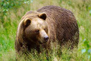 Brown Bear Facts - Brown Bear
