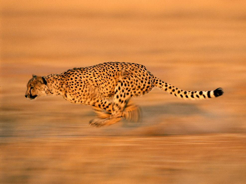 Cheetah Facts - Cheetah Run