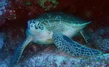 facts about sea turtle