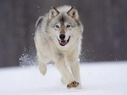 Wolf Facts - a running Wolf