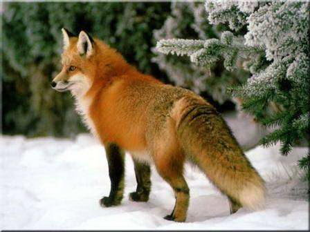 Red Fox Facts - Red Fox