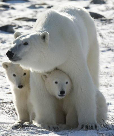polar bear facts - Polar Bear