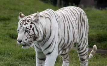 white tiger facts - white tiger