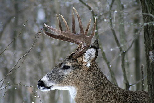 white-tailed deer facts - white-tailed deer