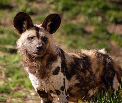 african wild dog facts - african wild dog