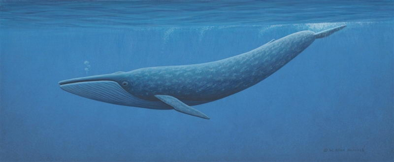 Ocean Whales Facts Blue Whale Deep in Ocean