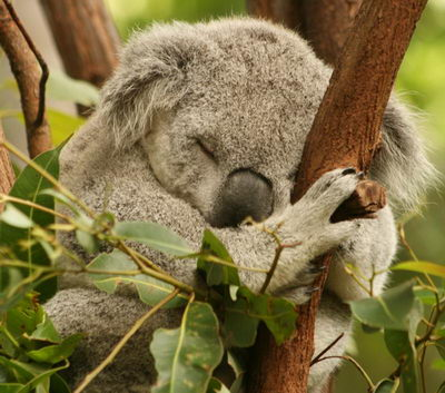 Cuddly Koala - what do koalas eat