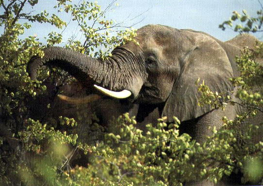 elephant eating - what do elephants eat