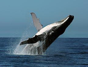Humpback Whale Facts - Humpback Whale