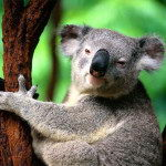 What Do Koalas Eat – Koalas Diet