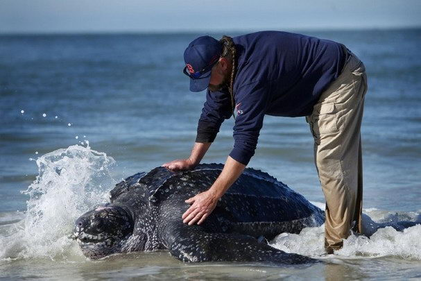 Leatherback Sea Turtle Facts - Leatherback Sea Turtle
