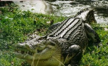 Saltwater Crocodile Facts - Saltwater Crocodile
