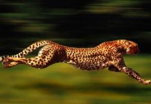 How Fast Can a Cheetah Run - cheetah sprinting