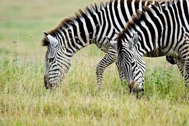 Zebras Grazing - what do zebras eat