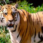 what do Tigers eat | Tigers diet