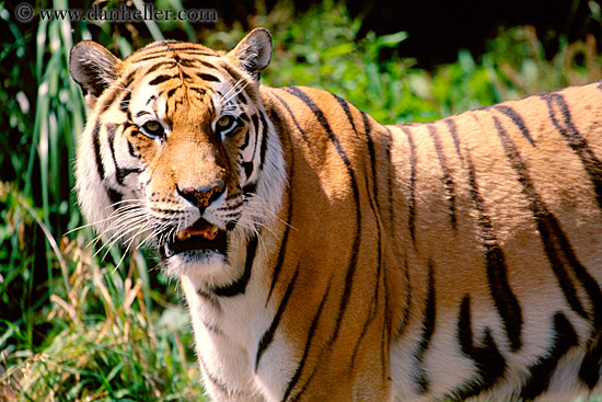 What do tigers eat tigers diet