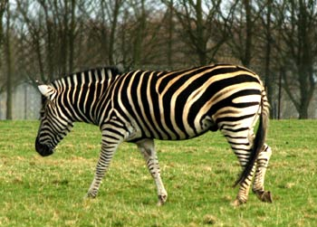 where do zebras live - Zebra