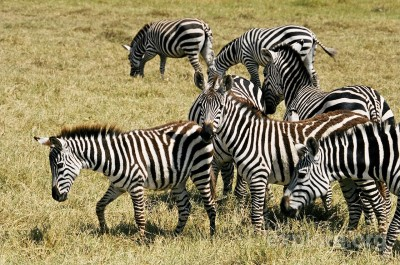where do zebras live - zebras grazing