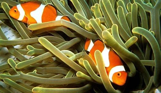 Two Clownfish facts for kids