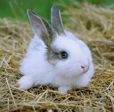 Cute little Rabbit (Leporidae)