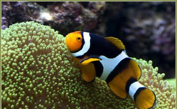clownfish facts for kids