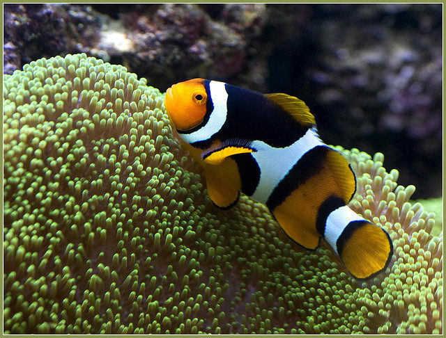 Clown fish facts for kids clown fish habitat diet for Clown fish habitat