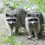 What Do Raccoons Eat | Raccoons Diet