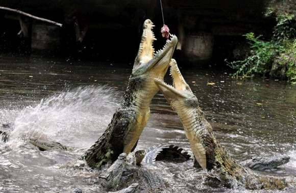 what do crocodiles eat
