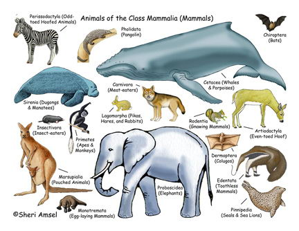 Facts About Mammals Characteristics of Mammals Classification of Mammals