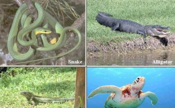 Classification of Reptiles - Snake - Alligator - Lizard - Turtle