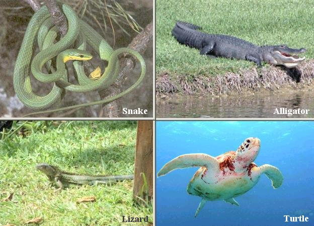 Facts About Reptiles - Classification of Reptiles - Snake - Alligator - Lizard - Turtle