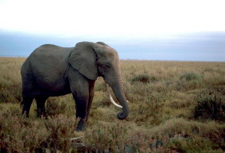An african elephant - african elephant facts for kids