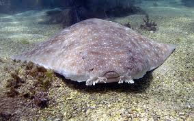 Angel shark (Squatina)