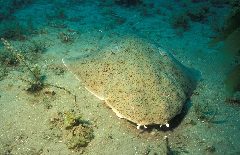 An angel shark on sea ground - angel shark facts
