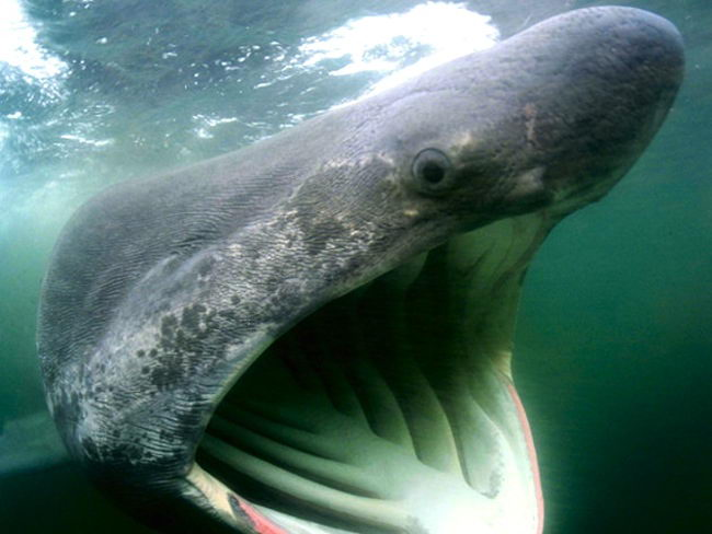 basking shark pictures