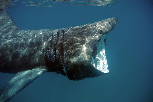 basking shark facts