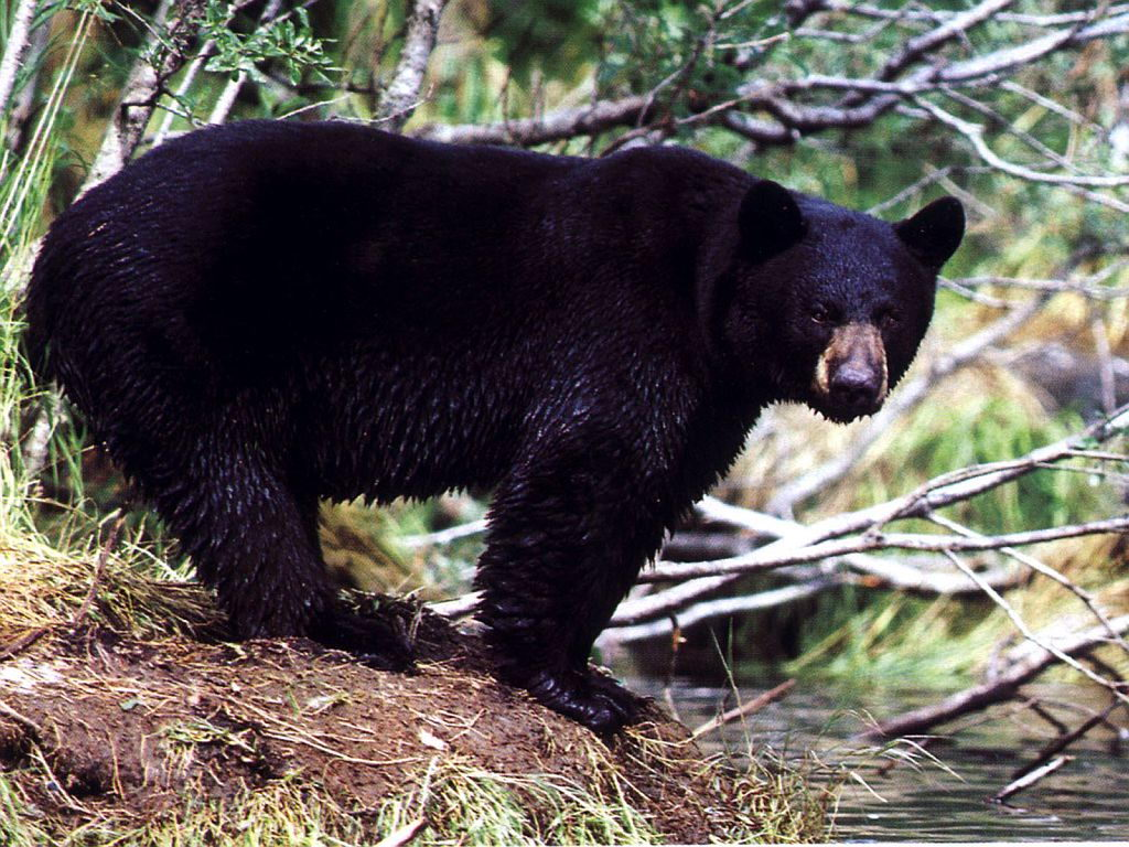 black bear - black bear facts