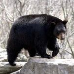 American Black Bear Facts For Kids | Black Bear Habitat & Diet