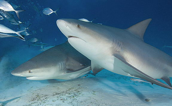 bull shark pictures - bull shark facts for kids