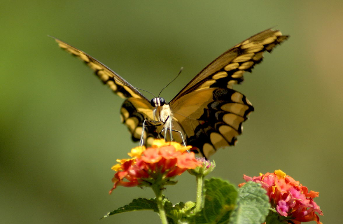 Butterfly on red flower - butterfly facts for kids