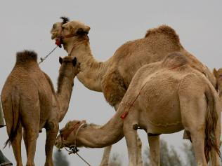 camel facts for kids Camel Facts For Kids | Interesting Facts about Camels Diet & Habitat