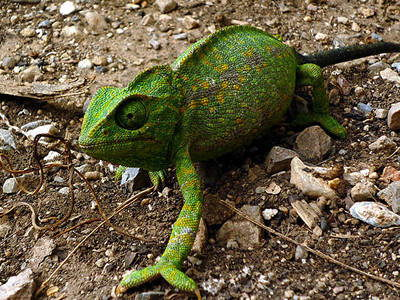 chameleon facts for kids