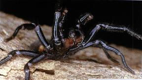 funnel web spider pictures