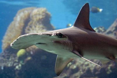 Hammerhead Shark Facts For Kids | Hammerhead Shark Diet ...
