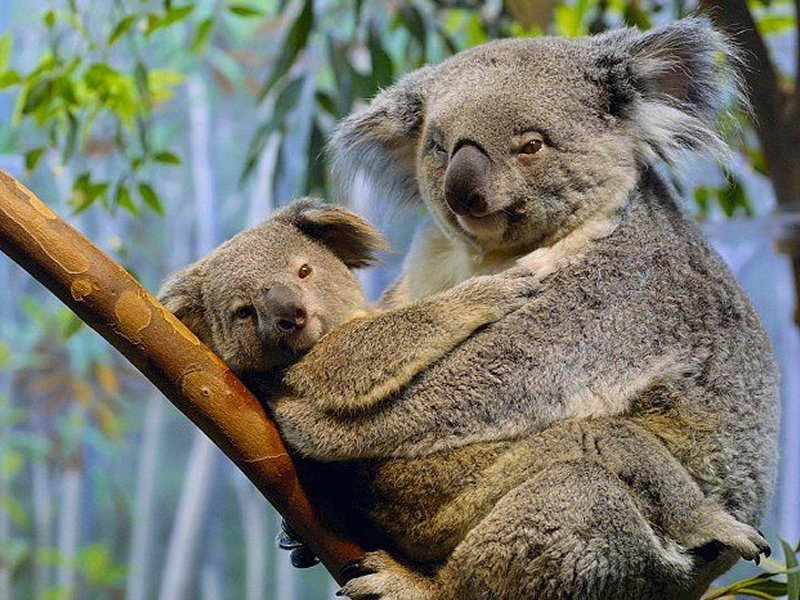 koala bear  with its baby - koala bear facts for kids